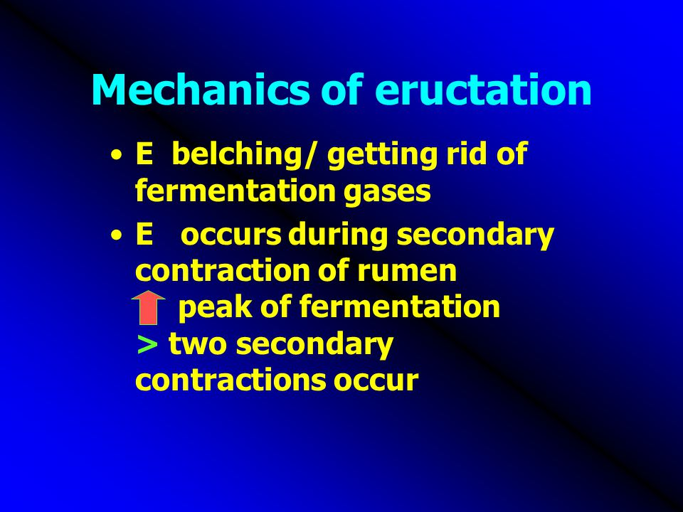 Mechanics of eructation E belching/ getting rid of fermentation gases E occurs during secondary contraction of rumen peak of fermentation > two second