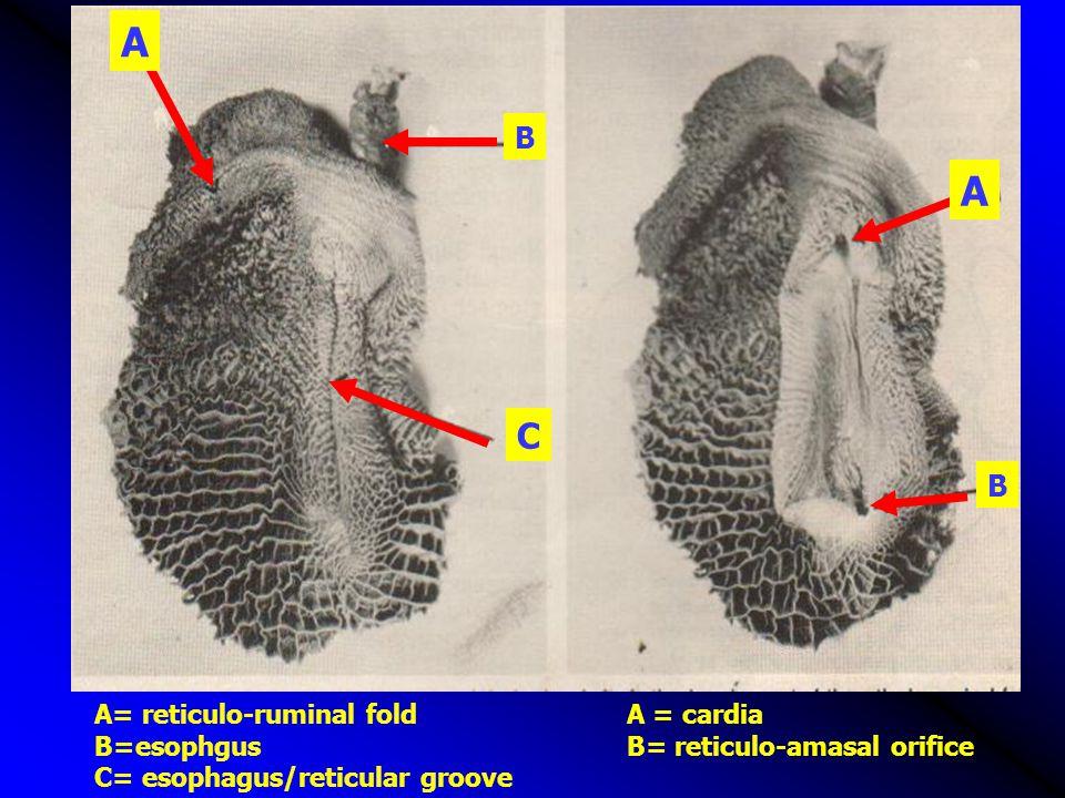 A B C A B A= reticulo-ruminal foldA = cardia B=esophgusB= reticulo-amasal orifice C= esophagus/reticular groove