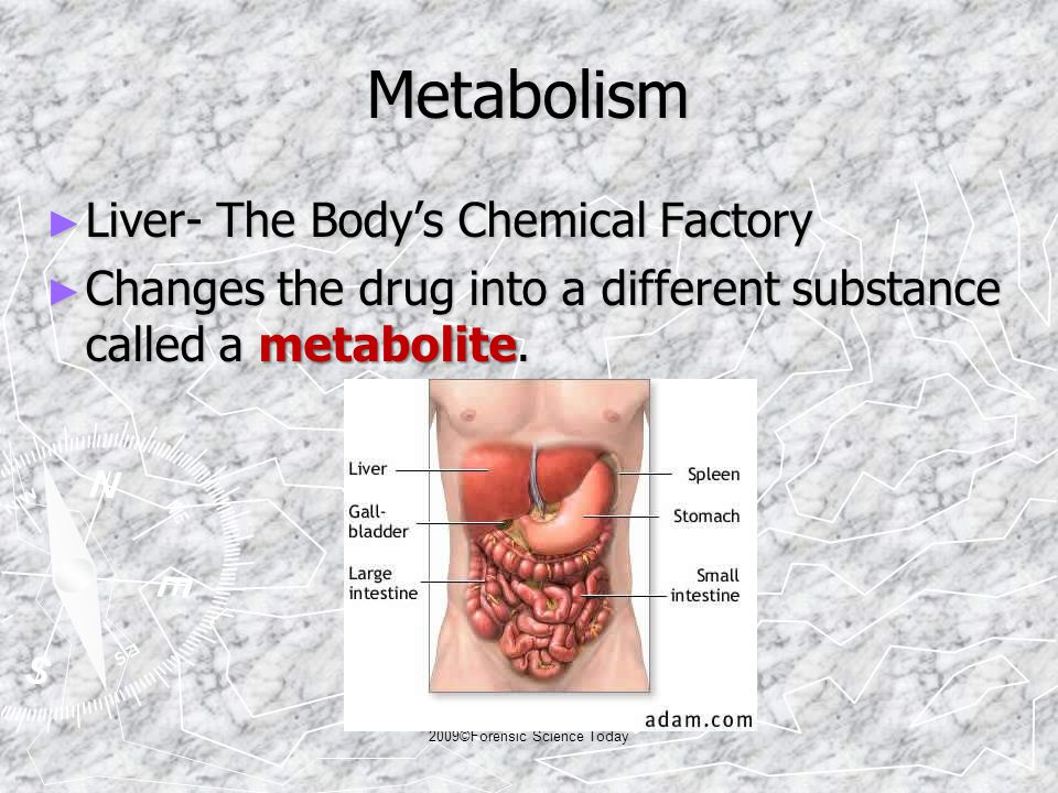 Metabolism ► Liver- The Body's Chemical Factory ► Changes the drug into a different substance called a metabolite.