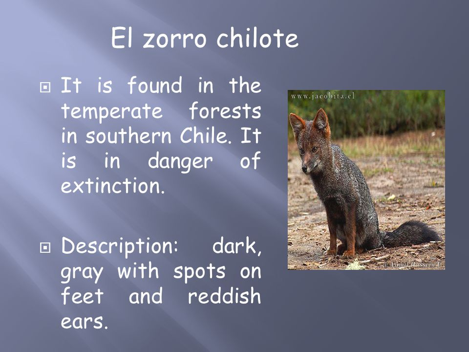  It is found in the temperate forests in southern Chile.