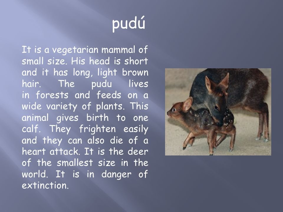 It is a vegetarian mammal of small size. His head is short and it has long, light brown hair. The pudu lives in forests and feeds on a wide variety of