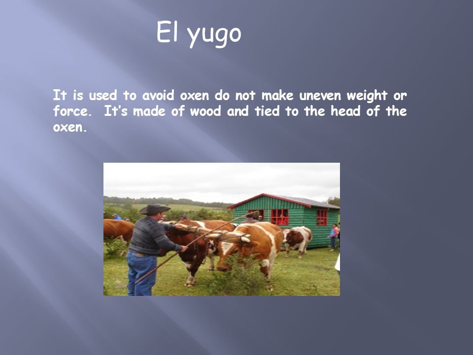 It is used to avoid oxen do not make uneven weight or force. It's made of wood and tied to the head of the oxen. El yugo