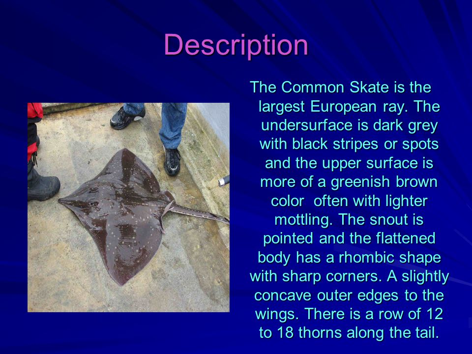 Description The Common Skate is the largest European ray.