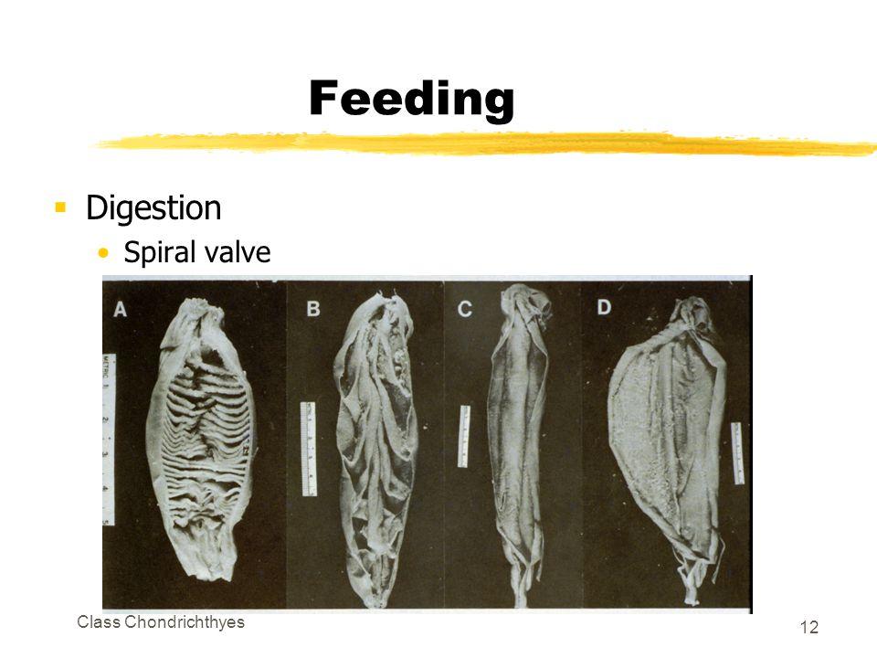 Class Chondrichthyes 12 Feeding  Digestion Spiral valve