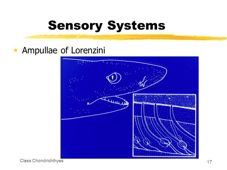Class Chondrichthyes 17 Sensory Systems  Ampullae of Lorenzini