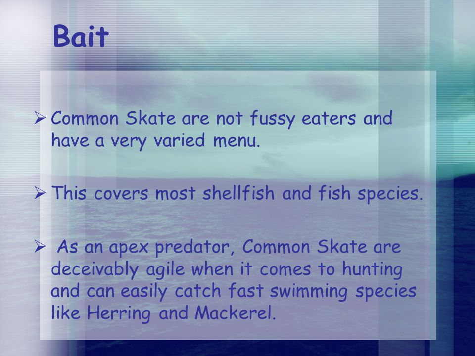 Bait  Common Skate are not fussy eaters and have a very varied menu.  This covers most shellfish and fish species.  As an apex predator, Common Ska