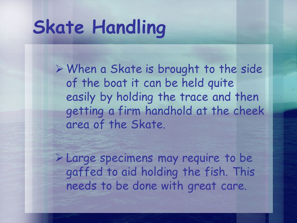 Skate Handling  When a Skate is brought to the side of the boat it can be held quite easily by holding the trace and then getting a firm handhold at