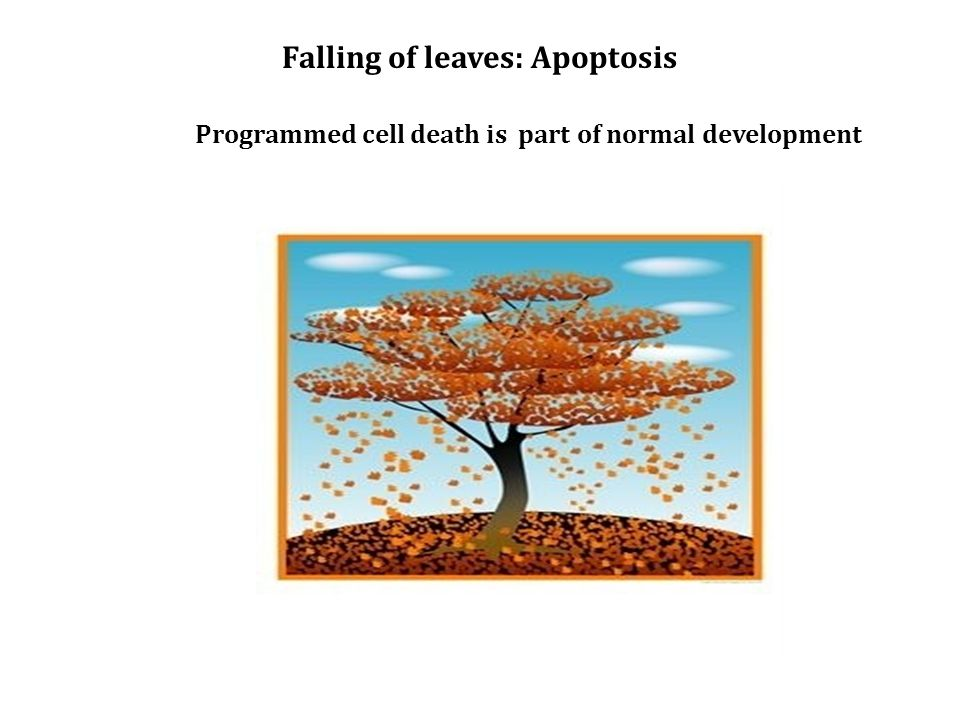 Programmed cell death is part of normal development Falling of leaves: Apoptosis