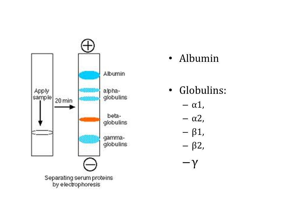 Albumin Globulins: – α1, – α2, – β1, – β2, – γ