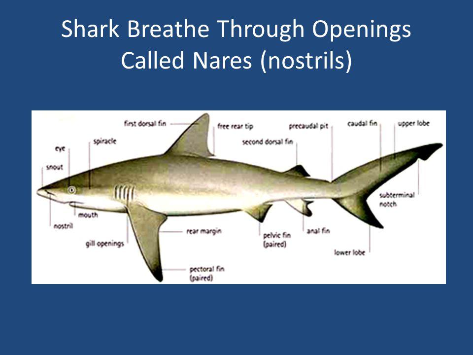 Shark Breathe Through Openings Called Nares (nostrils)