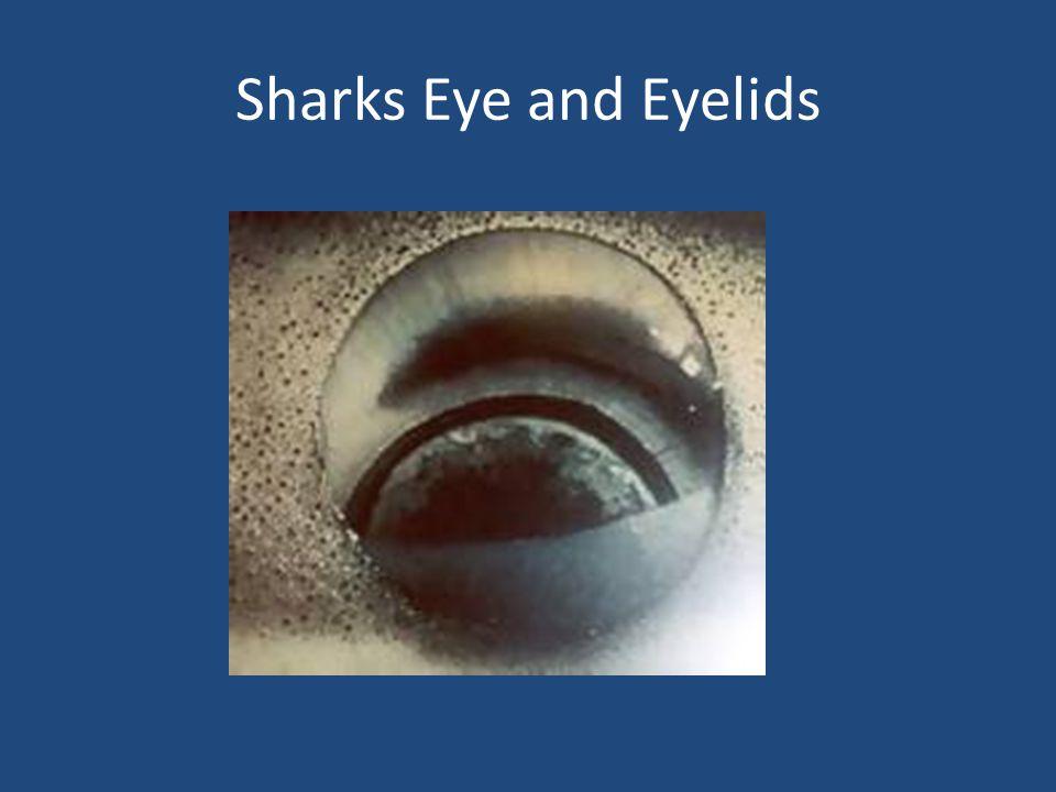 Sharks Eye and Eyelids