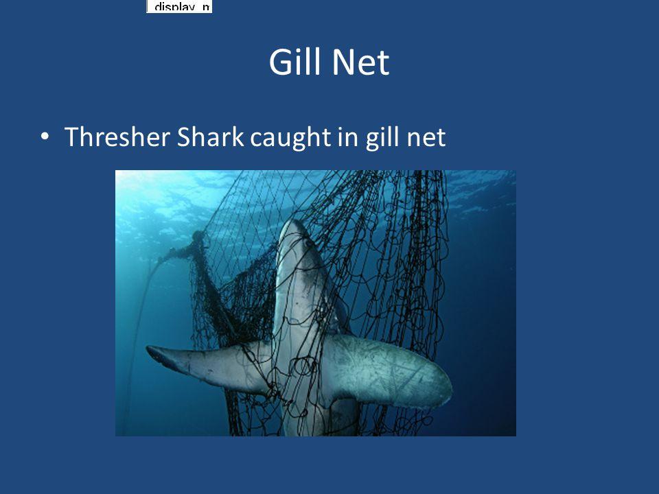 Thresher Shark caught in gill net