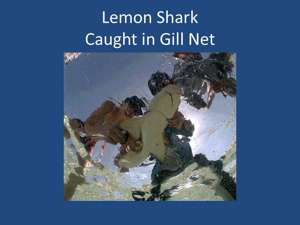 Lemon Shark Caught in Gill Net