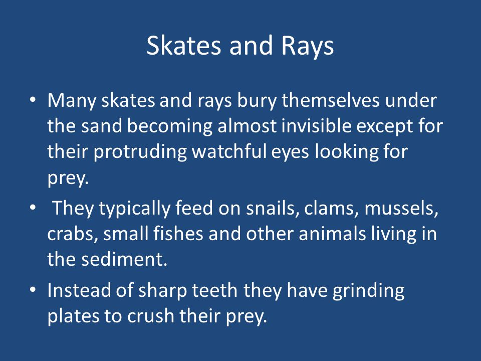 Skates and Rays Many skates and rays bury themselves under the sand becoming almost invisible except for their protruding watchful eyes looking for prey.