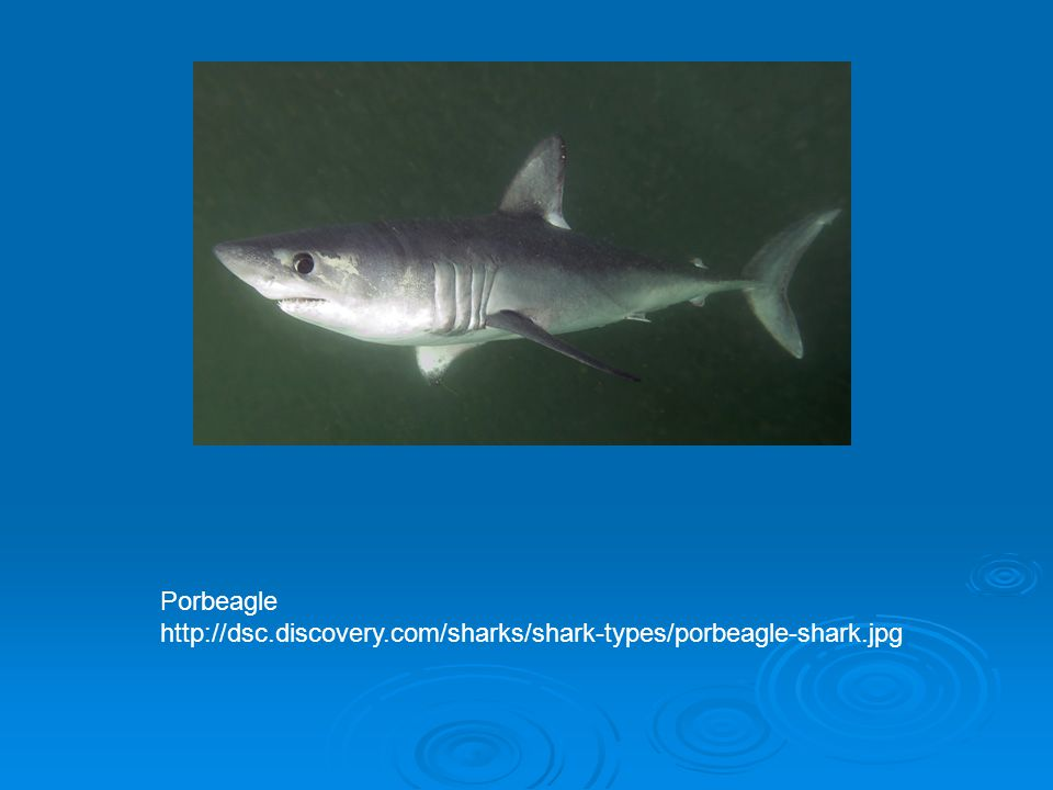 Porbeagle http://dsc.discovery.com/sharks/shark-types/porbeagle-shark.jpg