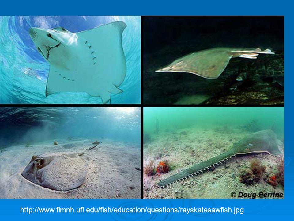 http://www.flmnh.ufl.edu/fish/education/questions/rayskatesawfish.jpg