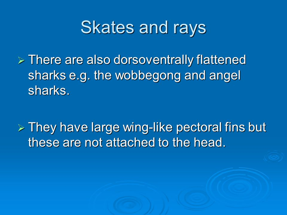 Skates and rays  There are also dorsoventrally flattened sharks e.g.