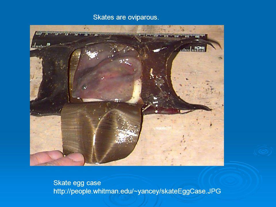 Skate egg case http://people.whitman.edu/~yancey/skateEggCase.JPG Skates are oviparous.