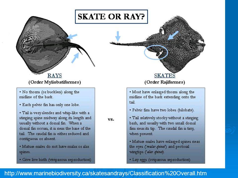 http://www.marinebiodiversity.ca/skatesandrays/Classification%20Overall.htm