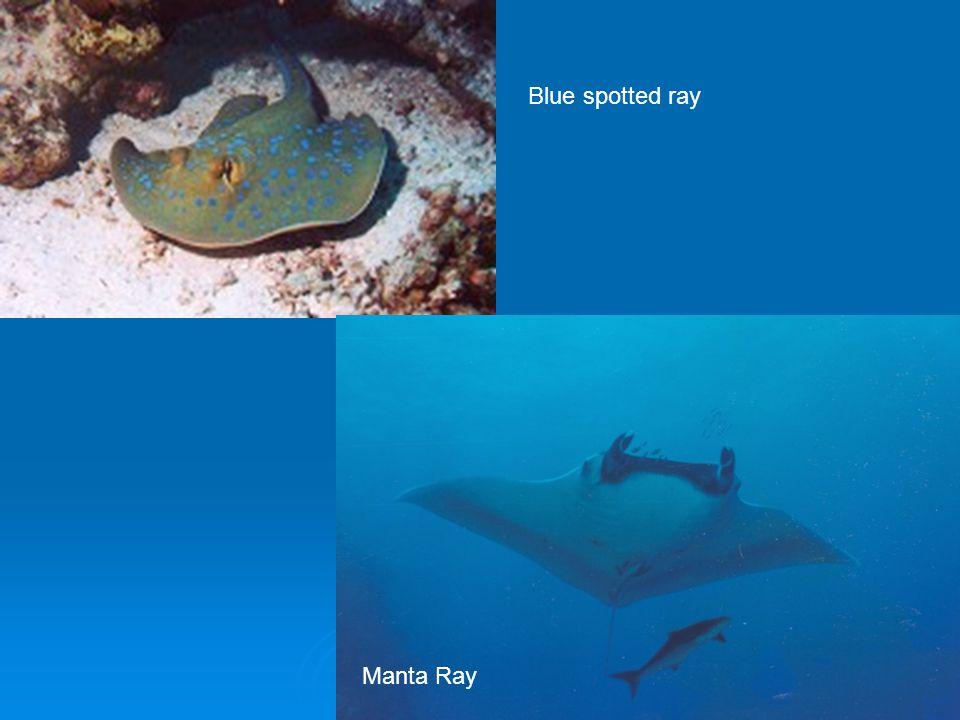 Manta Ray Blue spotted ray