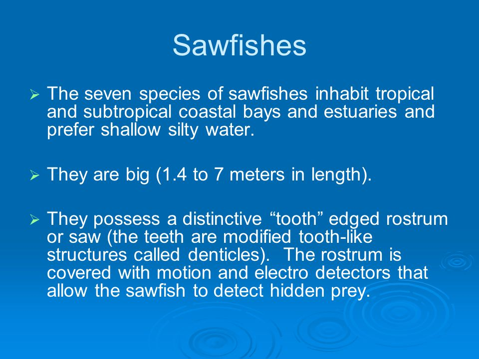 Sawfishes   The seven species of sawfishes inhabit tropical and subtropical coastal bays and estuaries and prefer shallow silty water.