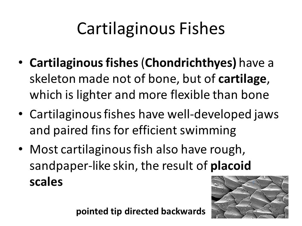 Cartilaginous Fishes Cartilaginous fishes include sharks, skates, rays and chimeras, or ratfishes Nearly all are marine ~350 species of sharks; ~500 species of skates and rays; 30 species of chimeras
