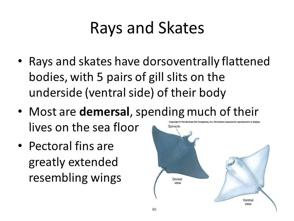 Is it a ray, or a skate.