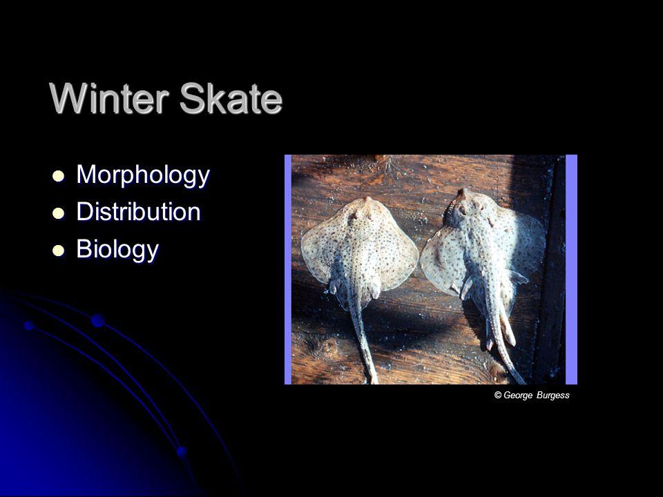 Winter Skate Morphology Morphology Distribution Distribution Biology Biology © George Burgess