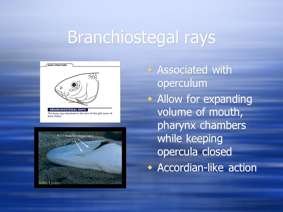 Branchiostegal rays  Associated with operculum  Allow for expanding volume of mouth, pharynx chambers while keeping opercula closed  Accordian-like action