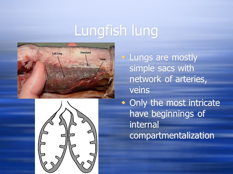 Lungfish lung  Lungs are mostly simple sacs with network of arteries, veins  Only the most intricate have beginnings of internal compartmentalization