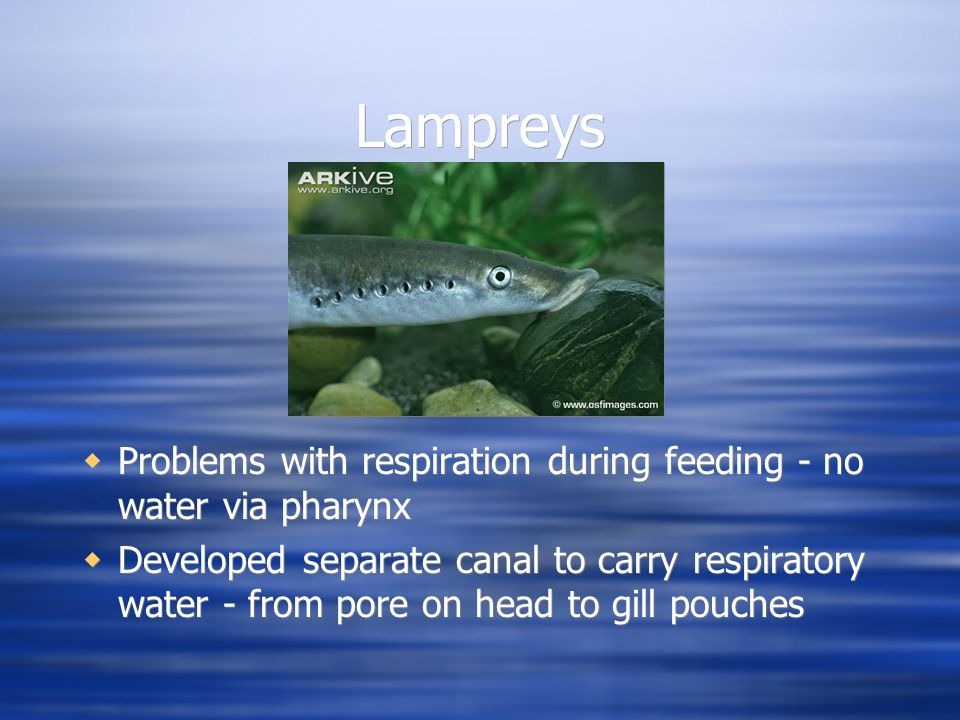 Lampreys  Problems with respiration during feeding - no water via pharynx  Developed separate canal to carry respiratory water - from pore on head to gill pouches