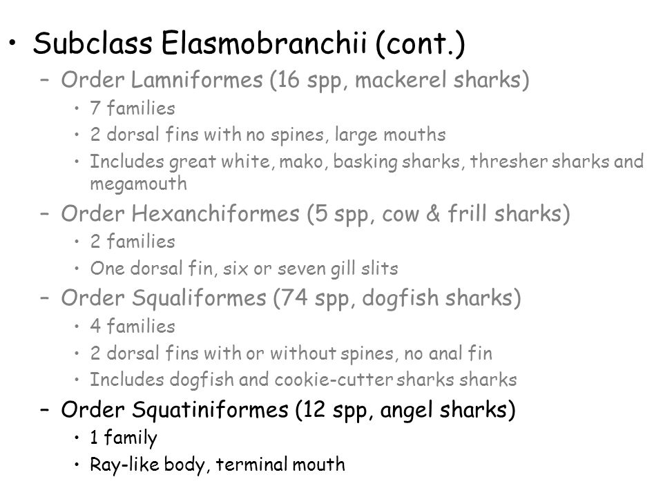 Subclass Elasmobranchii (cont.) –Order Lamniformes (16 spp, mackerel sharks) 7 families 2 dorsal fins with no spines, large mouths Includes great whit