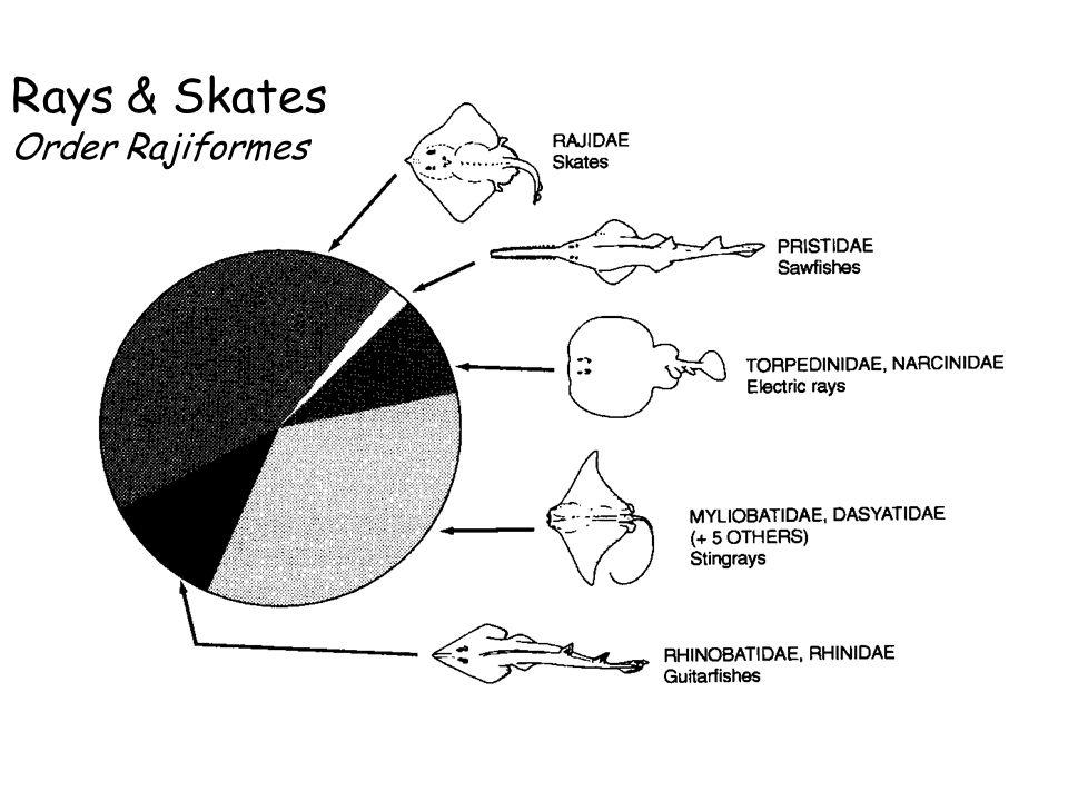 Rays & Skates Order Rajiformes