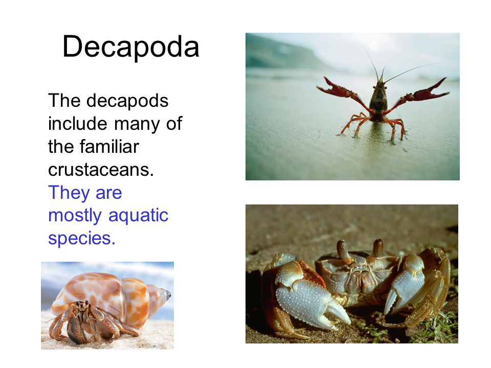Decapoda The decapods include many of the familiar crustaceans. They are mostly aquatic species.