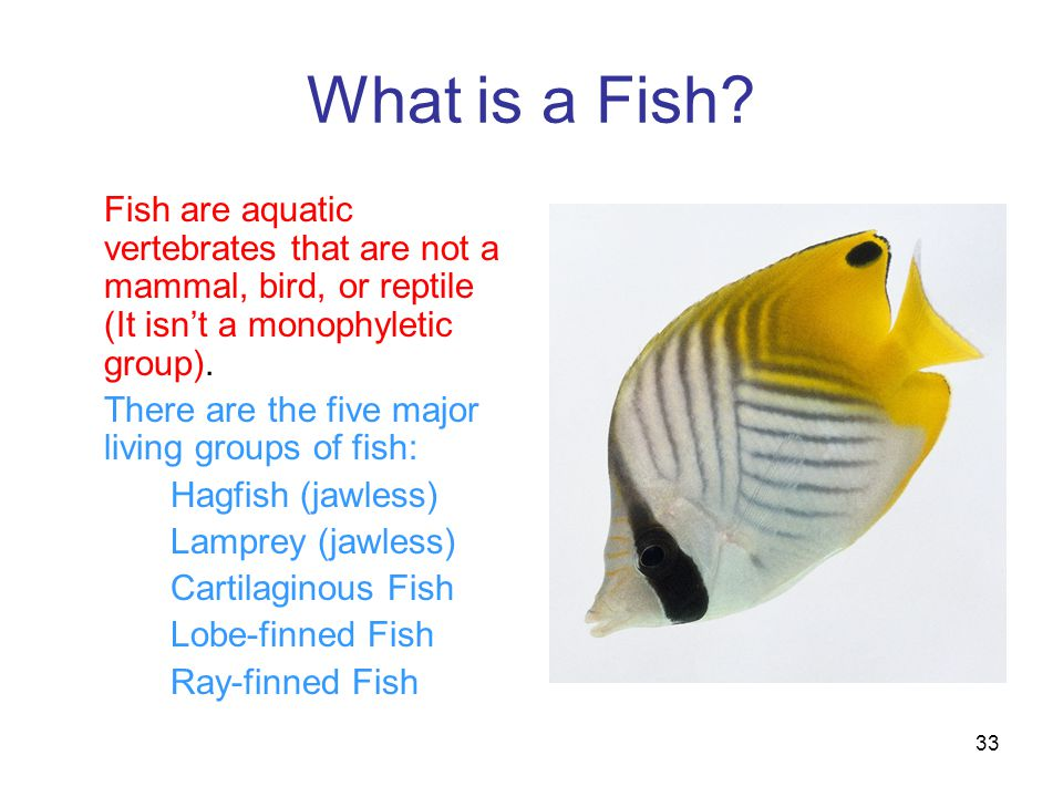 What is a Fish? Fish are aquatic vertebrates that are not a mammal, bird, or reptile (It isn't a monophyletic group). There are the five major living