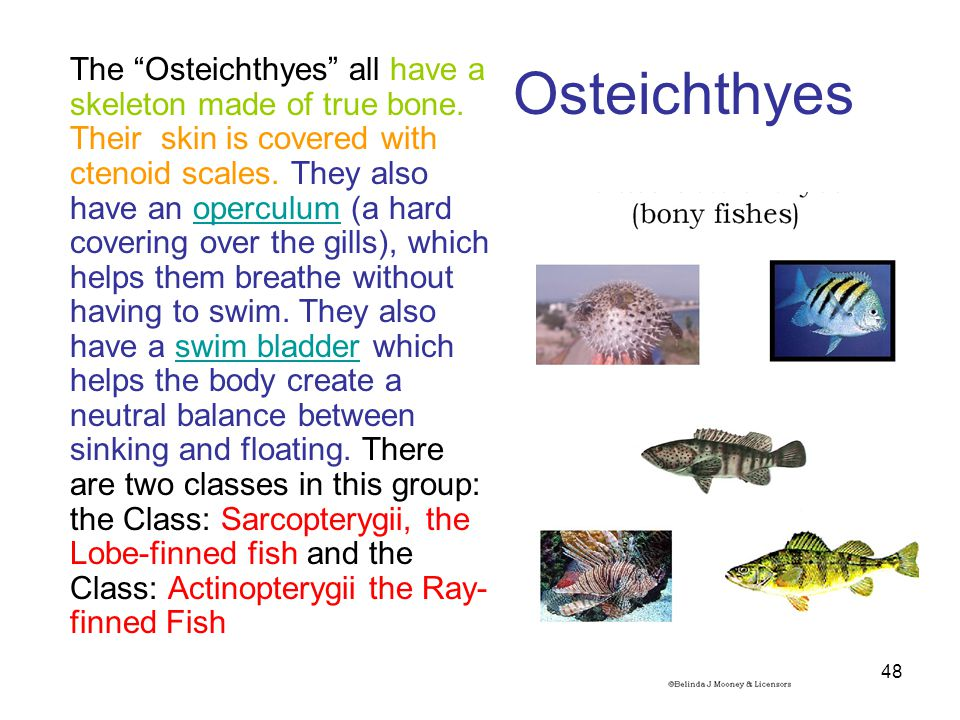 """Osteichthyes The """"Osteichthyes"""" all have a skeleton made of true bone. Their skin is covered with ctenoid scales. They also have an operculum (a hard"""