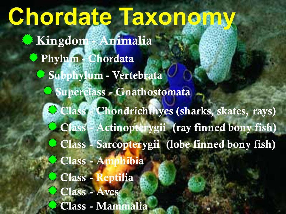 Fish Taxonomy Kingdom - Animalia Phylum - Chordata Subphylum - Vertebrata Class - Actinopterygii (ray finned bony fish) Superclass - Gnathostomata Ex.