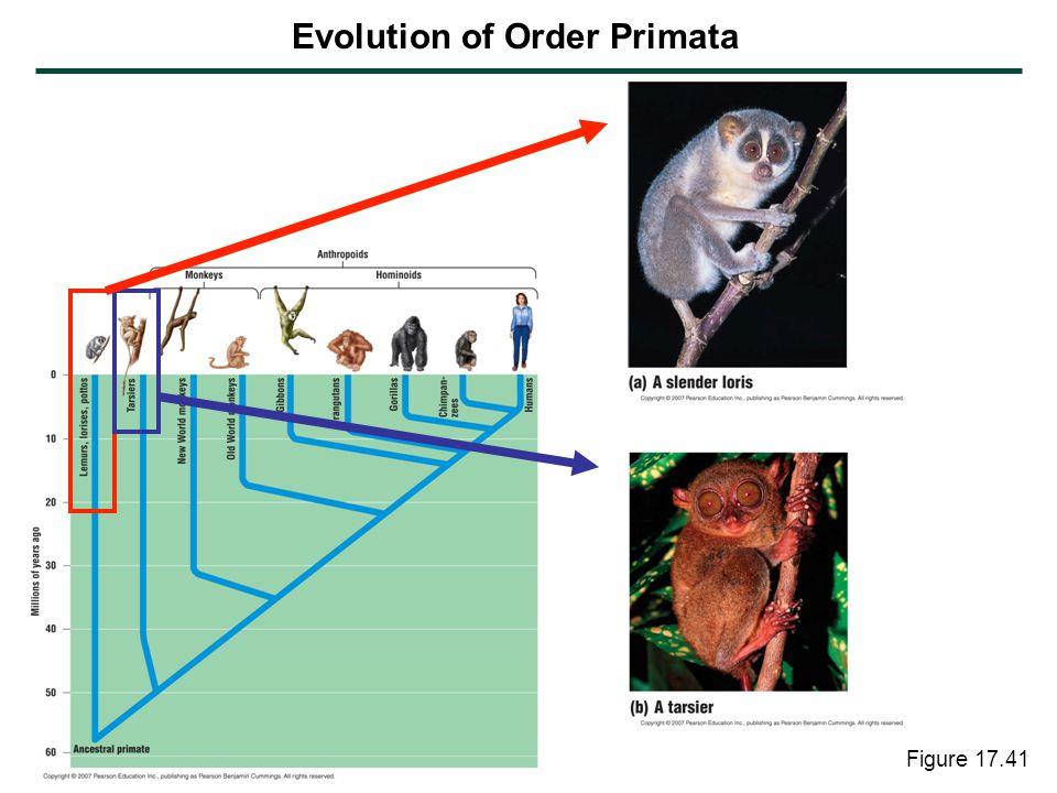 Figure 17.41 Evolution of Order Primata