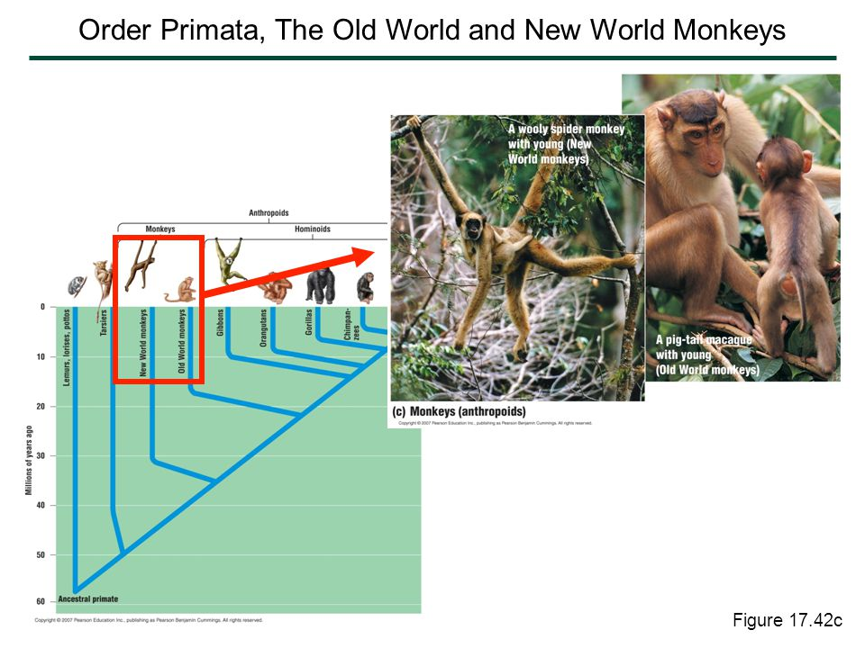 Figure 17.42c Order Primata, The Old World and New World Monkeys