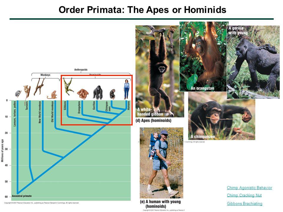 Gibbons Brachiating Chimp Cracking Nut Chimp Agonistic Behavior Order Primata: The Apes or Hominids