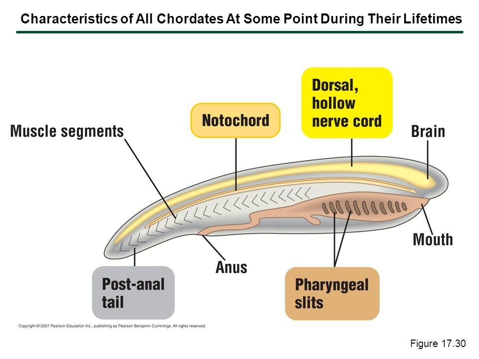 Figure 17.30 Characteristics of All Chordates At Some Point During Their Lifetimes