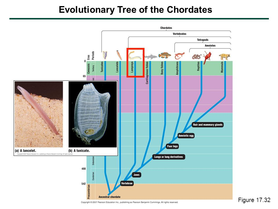 Figure 17.32 Evolutionary Tree of the Chordates