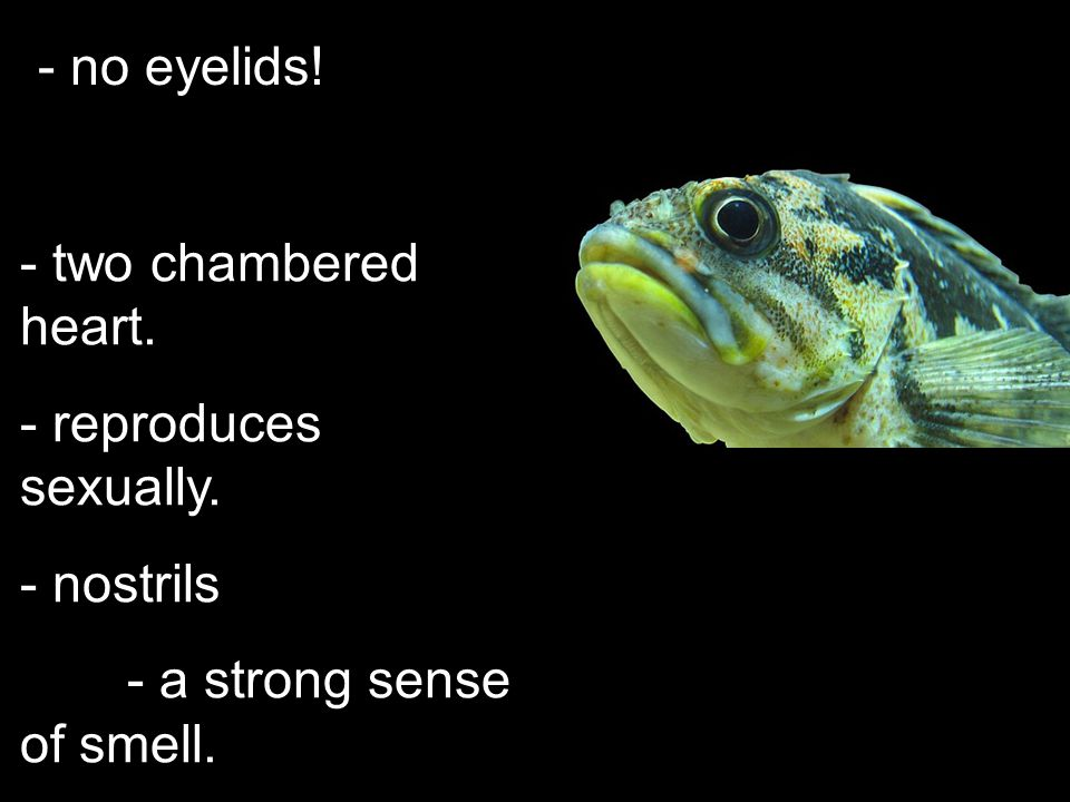 swim bladder - controls buoyancy. - fills with air to rise.