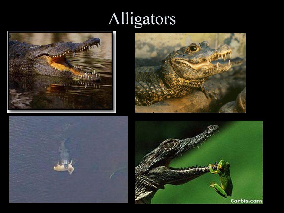 More lizards… Gila MonsterFringed Lizard Zebra Lizard Gecko