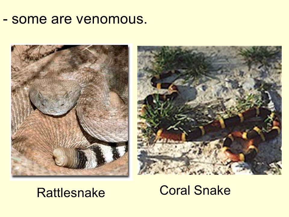 Snakes -reptiles without legs. -can unhinge their jaw. - to swallow large prey.