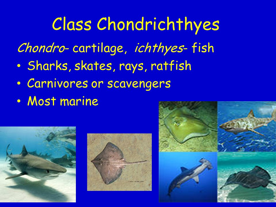 Class Chondrichthyes Chondro- cartilage, ichthyes- fish Sharks, skates, rays, ratfish Carnivores or scavengers Most marine