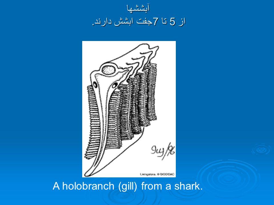 آبششها از 5 تا 7جفت ابشش دارند. A holobranch (gill) from a shark.