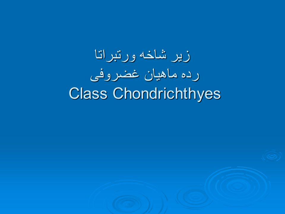 زیر شاخه ورتبراتا رده ماهیان غضروفی Class Chondrichthyes