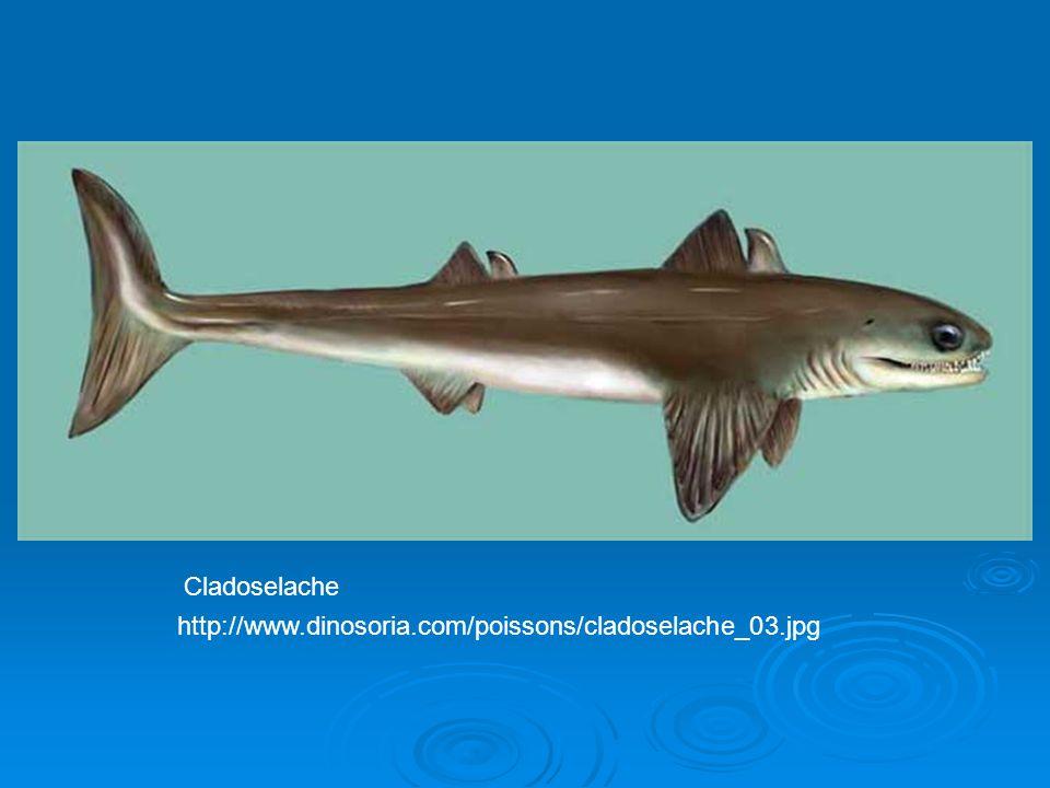 Cladoselache picture http://www.dinosoria.com/poissons/cladoselache_03.jpg Cladoselache