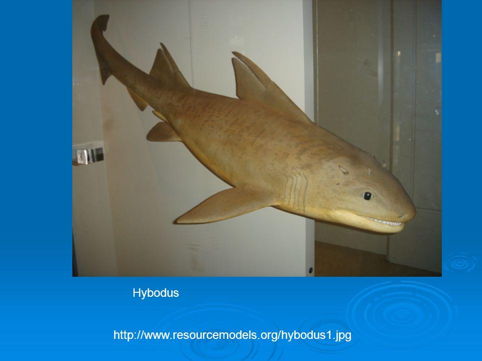 http://www.resourcemodels.org/hybodus1.jpg Hybodus